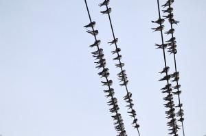 Vögel auf Stromleitungen vor blauem Himmel