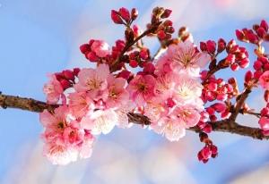 Kirschblüten vor blauem Himmel.
